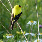 American Goldfinch copyright Andrea Kingsley