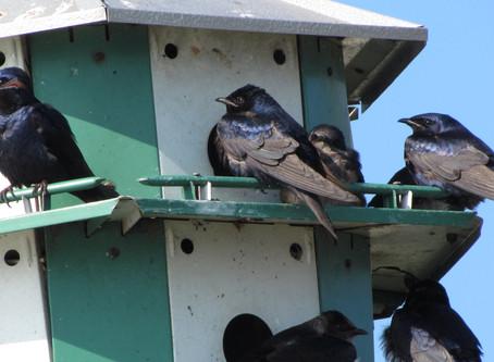 Take OFO's Birding at Home Challenge!