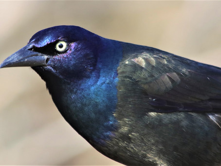 Presqu'ile Bird Report for 2-8 July 2021
