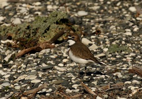 Banded Dotterel bird count at Marlborough's East Coast.