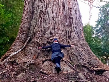 Hooked on Big Trees