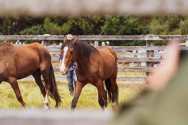 Driftwood Eco-Tours | Exclusive Adventures & Guided Tours of Real NZ | St James Horse Sale Tour