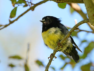 Driftwood Eco Tours yellow breast tomtit.jpg