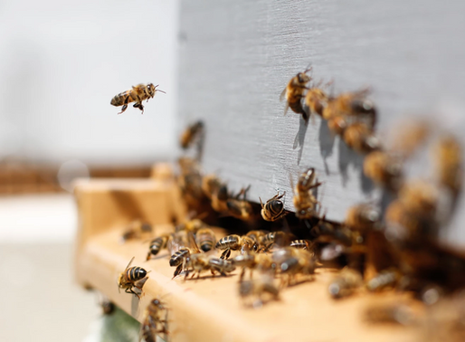 Can Cannabis Help Save The Bees?