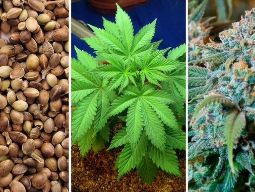Want to Grow: Find The Best Marijuana Seeds For Sale