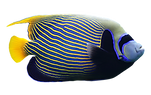 purepng.com-angelfishfoodfishnatureanima