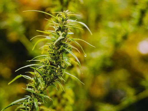 Cannabis Operators Should Develop Patent Strategies Now