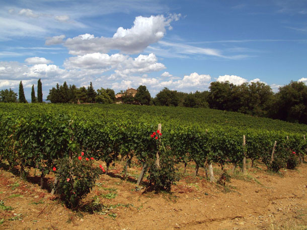 Vinhedo - Montalcino - Toscana - Itália