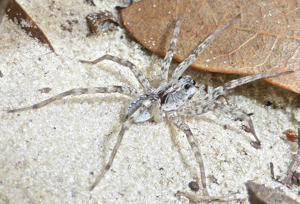 """Lycosidae Sp (White Wolf Spider) 1""""-2"""" Juvenile-Adult"""