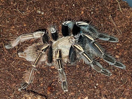 "Ephebopus murinus (Skeleton Leg) 3""-3.5"" Unsexed"