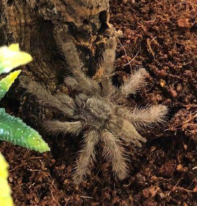 """Stromatopelma calceatum (Featherleg Baboon) 1""""-1.5"""""""