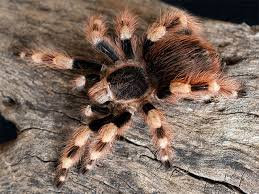 "Nhandu coloratovillosus (Brazilian black & White) .5"""