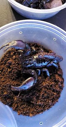 "Giant Asian Forest Scorpion (Heterometrus longimanus) 3"" to 4""  Unsexed"