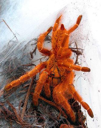 "Pterinochilus murinus (Orange Baboon ""RCF"") .5"""