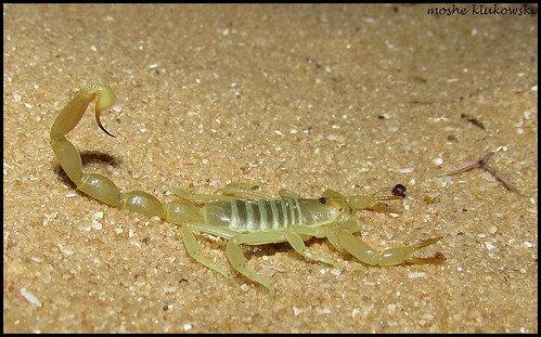 "Buthacus leptochelys (Egyptian Green Scorpion) 1.5""-2"" Unsexed Juvenile"