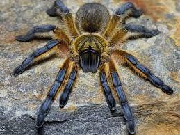 """Harpactira pulchripes (Golden Blue Leg Baboon) 1"""" Unsexed"""