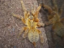 """Pterinochilus murinus TCF OBT .5""""-1"""""""