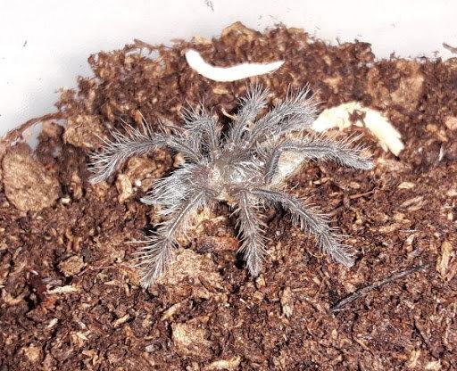 "Cyriopagopus lividus (Cobalt Blue) Tarantula .75"" Sling"