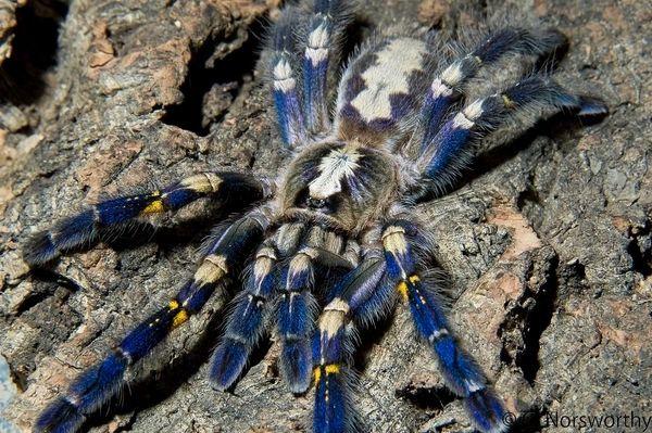 "Poecilotheria metallica (Gooty Sapphire Ornamental) Tarantula 1"""