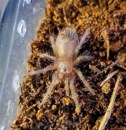 """Tlitocatl albopilosum (Honduran Curly Hair) Tarantula .5""""-1"""" Sling"""