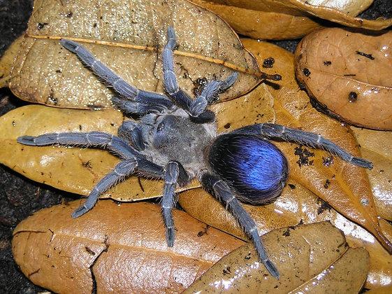 "Psuedohapalopus sp Blue (Columbian Bluebottle) .25"""