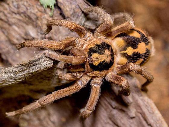 "Hapalopus formosus (""True"" Pumpkin Patch) .25"" Sling"