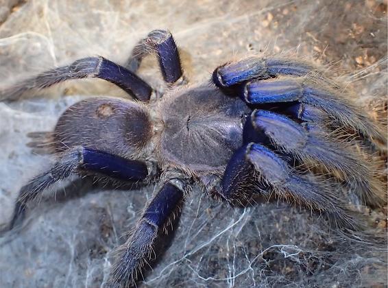 """Chilobrachys Dyscolus Sp """"Cambodian Blue"""" 2.5""""-3"""" Unsexed Juvenile"""