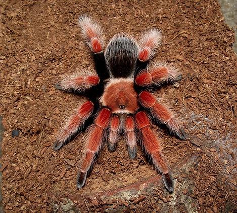 """Brachypelma boehmei (Mexican Fire Leg) 3.5""""-4"""" Young Female"""