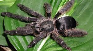 """Tapinauchenius cupreus (Copper Tree Spider) 1"""" Unsexed"""