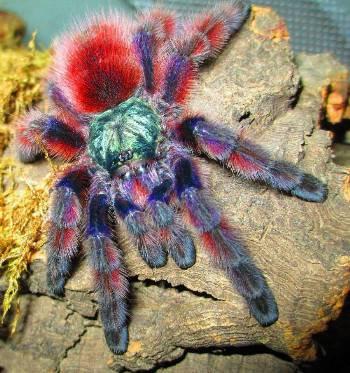"Caribena versicolor (Antilles Pink-toe) 2""-2.5"" Unsexed"