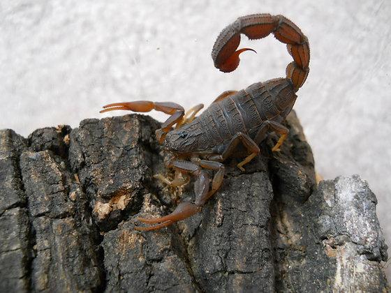 "Hottentotta hottentotta (Congo Scorpion)  2""-2.5"" Adult Female"