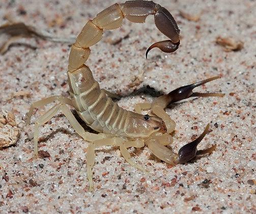 "Androctonus australis ""Hector"" (Tunisia) Egyptian Yellow Fat Tail Juvenile"