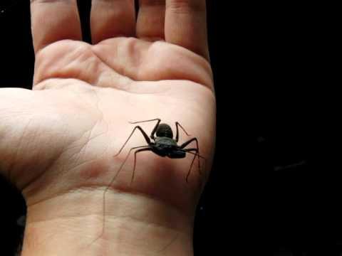 "Phrynus marginemaculatus (Florida Tailless Whip Scorpion) 1""-2"" Juvenile"