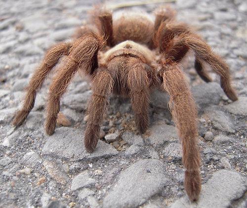 "Aphonopelma hentzi (Texas Brown) 3""-3.5"" Female"