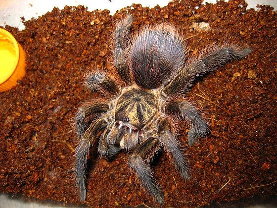 "Phormictopus auratus (Haitian Gold) 1"""