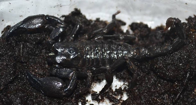 "Pandinus viatoris (Cave Clawed Scorpion) 2.5-3"" Unsexed"