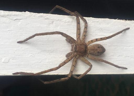 """Heteropoda venatoria (Crab Huntsman Spider) 1"""" Unsexed"""