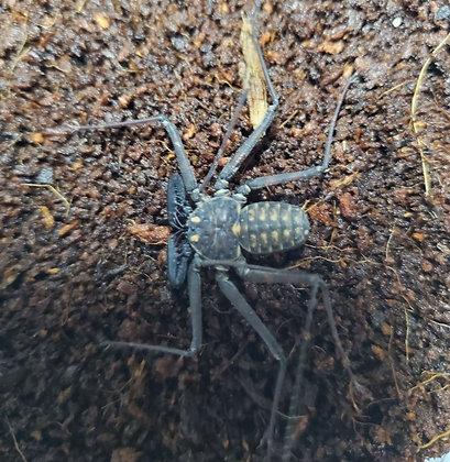 "Amblypygi Sp  (Tailless Whip Scorpion) 2.5""-3"" Unsexed Juvenile"