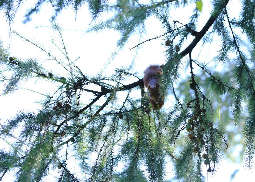 Wiewiórka na modrzewiu