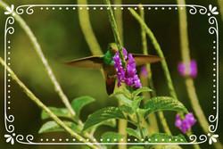 Colibri is Hummingbird!