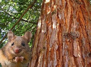 Mouse & Cedar 2.jpg