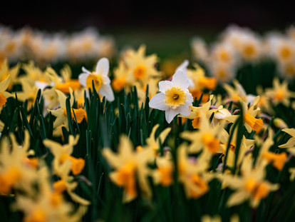 The Best Places to See Daffodils in London - The Royal Parks