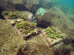 【8月26日】サンゴの植樹体験のその後