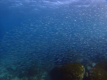 イワシの大群も見どころ平沢ビーチのダイビング