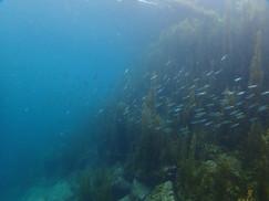 海藻の林とタカベのマッチング