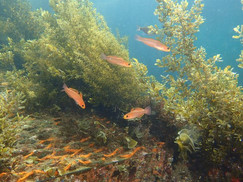海藻の林の海中散策コース