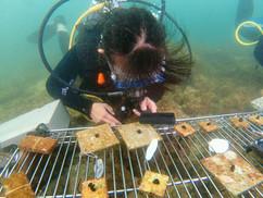 【8月23日】水槽生まれのサンゴを海へ
