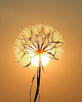 dandelion-1557110_640.jpg