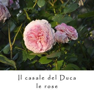 LE ROSE 1.jpg