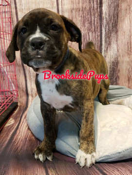 Olde Boxer, Male